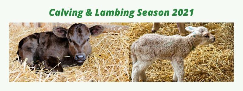 Copy of Calving & Lambing season 2021